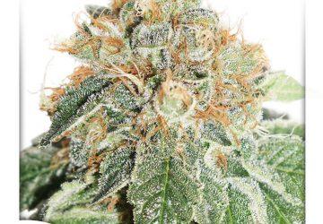 Graines de cannabis for Graine de weed exterieur