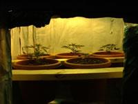 Plante cannabis interieur