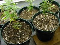 Terre pour plantes de cannabis